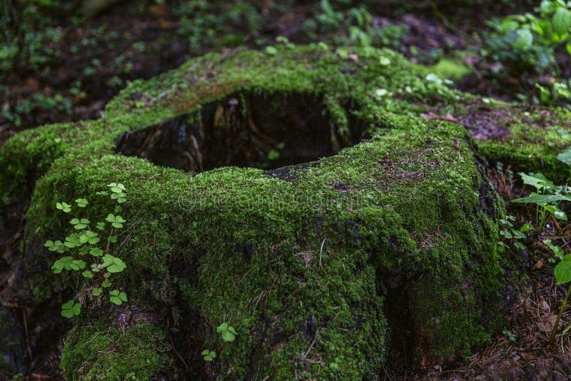 Un tocón grande cubierto con el musgo verde grueso en la opinión fabulosa del bosque Primer imagen de archivo