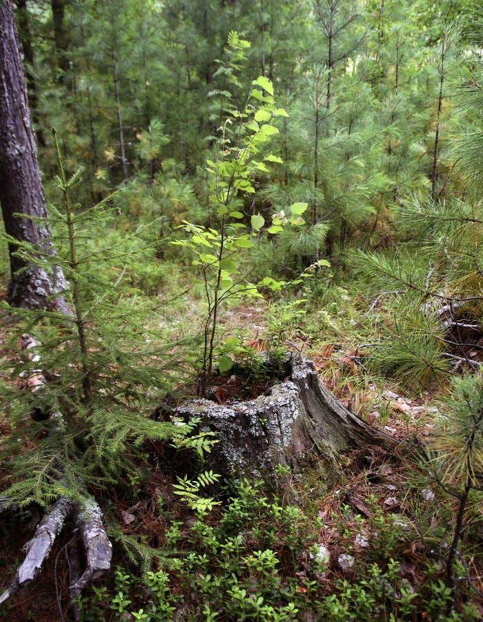 Un tocón putrefacto viejo de un árbol conífero en un bosque imagen de archivo libre de regalías