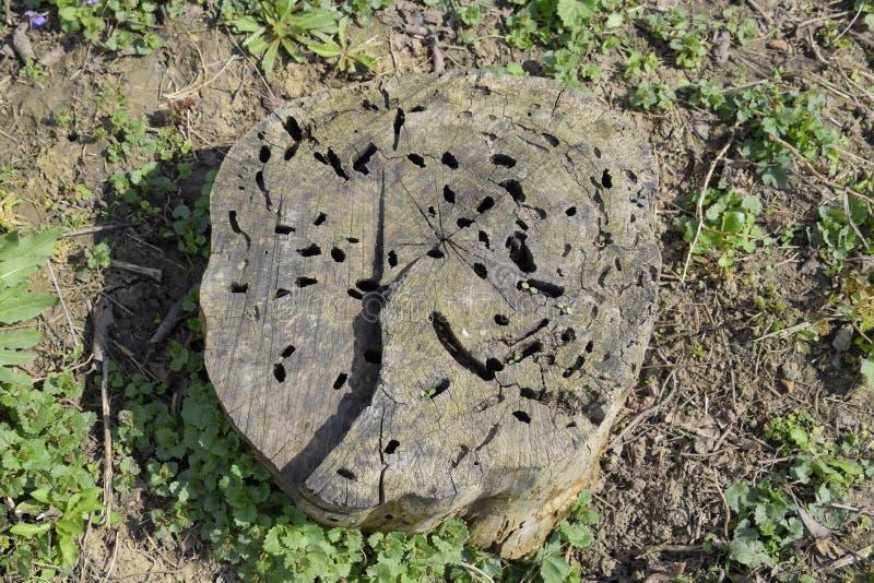 Un tocón viejo, comido por las larvas de un leñador del escarabajo El curso de larvas de la carcoma en un tocón putrefacto imágenes de archivo libres de regalías