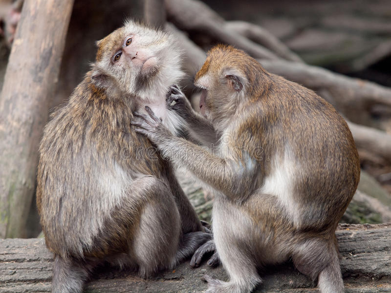 Un toilettage de singe (crabe mangeant le macaque). photos libres de droits