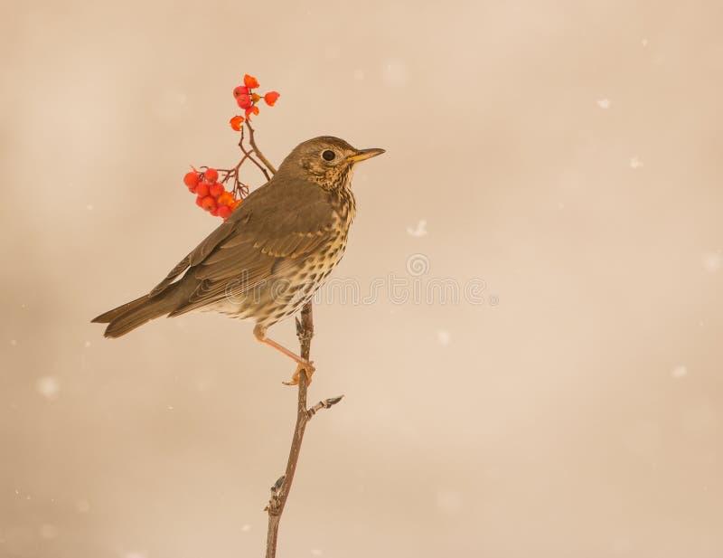 Tordo de canción debajo del nevadas