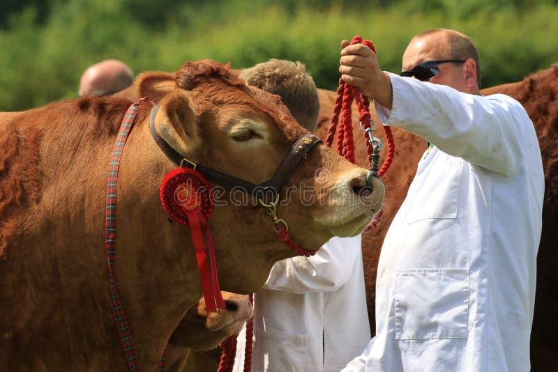 Un toro que es mostrado en una demostración del condado foto de archivo