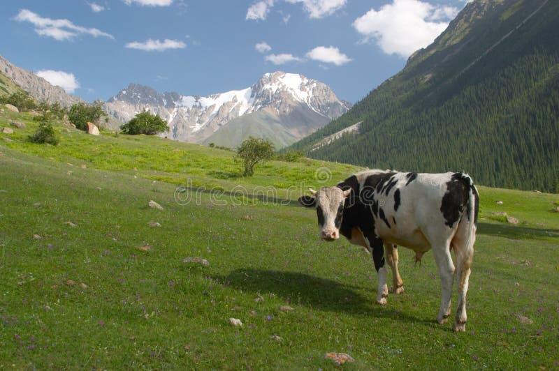 Un toro sul prato fotografie stock libere da diritti