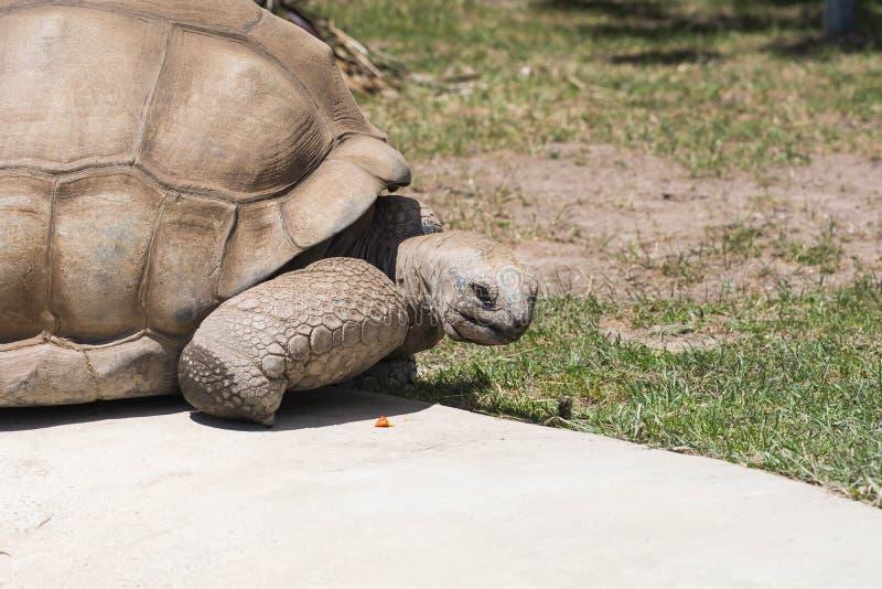 Un tortoise molto vecchio immagine stock