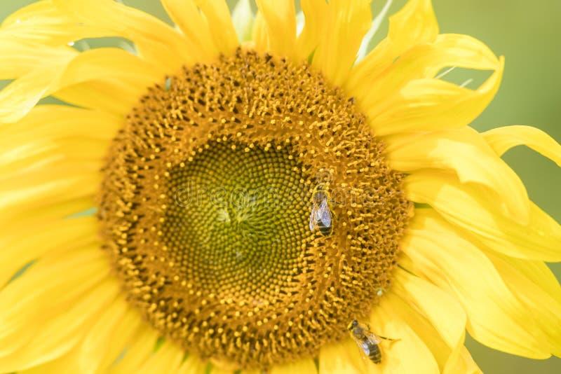 Un tournesol jaune vif poussant sur le terrain - les abeilles assises sur la fleur photographie stock libre de droits