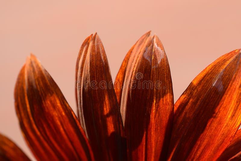 Un tournesol rouge de mon jardin photos stock