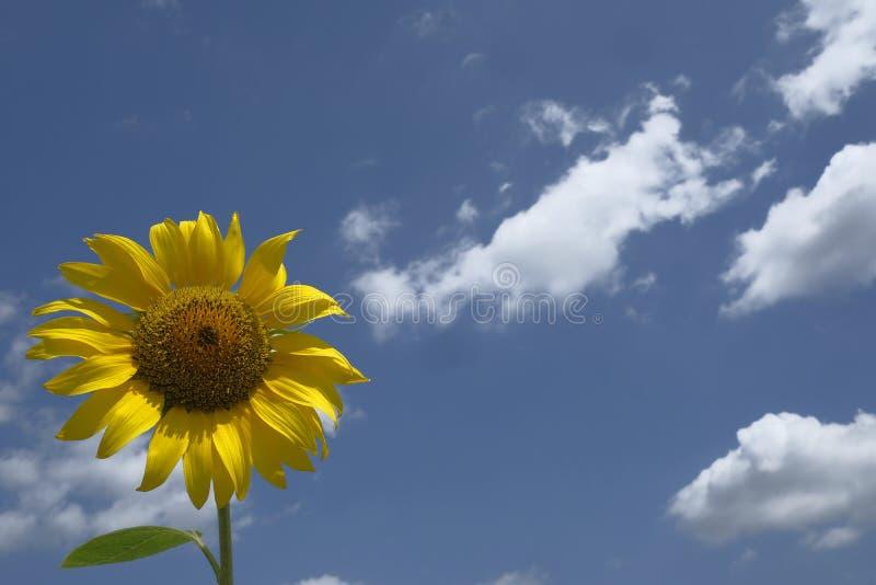 Un tournesol simple avec le ciel bleu nuageux image libre de droits