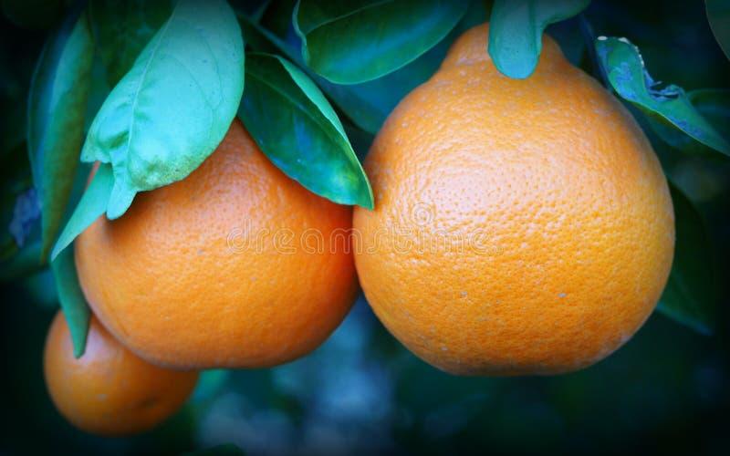 Un trío de los Tangelos maduros que cuelgan del árbol de fruta cítrica fotografía de archivo libre de regalías
