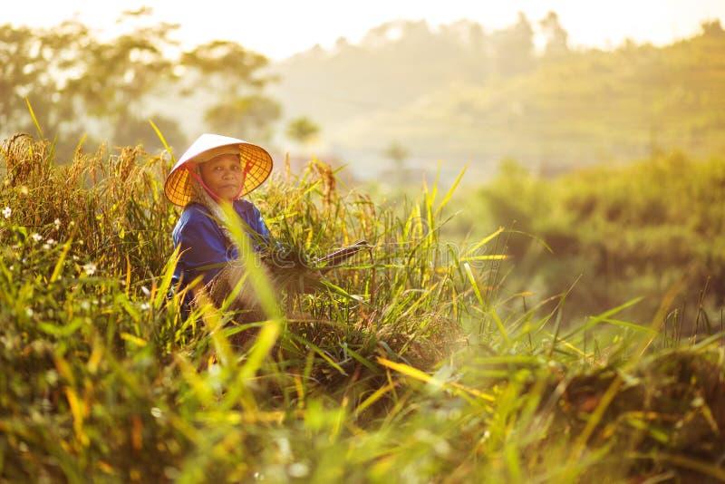 Un trabajador de campo local del arroz imagen de archivo