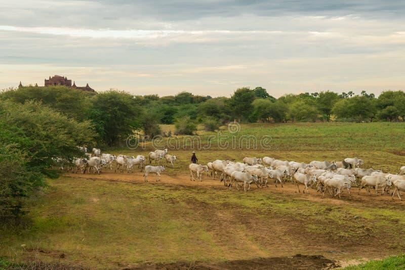 Un tramonto rilassato pacifico con un gregge del bestiame n Myanmar dello zebù immagine stock
