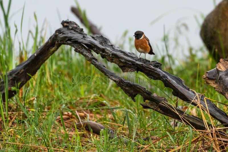 Un traquet commun été perché sur le bois un matin pluvieux photographie stock libre de droits