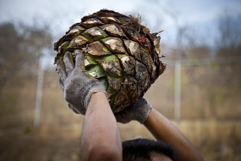 Un travail d'homme dans l'industrie de tequila images libres de droits