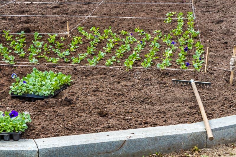 Un travail sur planter des jeunes plantes des fleurs colorées violettes sur le parterre et le râteau en parc au printemps image stock