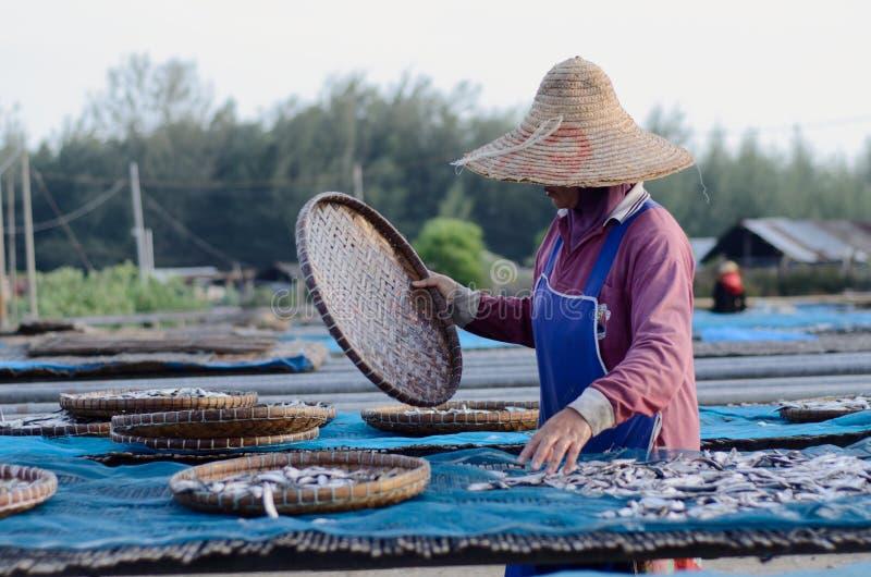 Un travailleur était séchage occupé les poissons pour le processus de sécher les poissons sous la chaleur du soleil avant que ce  photos libres de droits