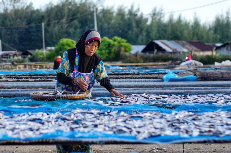 Un travailleur était séchage occupé les poissons pour le processus de sécher les poissons sous la chaleur du soleil avant que ce  image libre de droits
