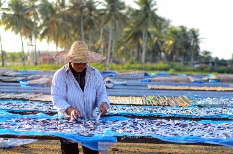 Un travailleur était séchage occupé les poissons pour le processus de sécher les poissons sous la chaleur du soleil avant que ce  photo libre de droits