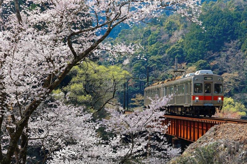 Un tren local que viaja en un puente del ferrocarril por un árbol floreciente de Sakura de la flor de cerezo cerca de la estación fotografía de archivo libre de regalías