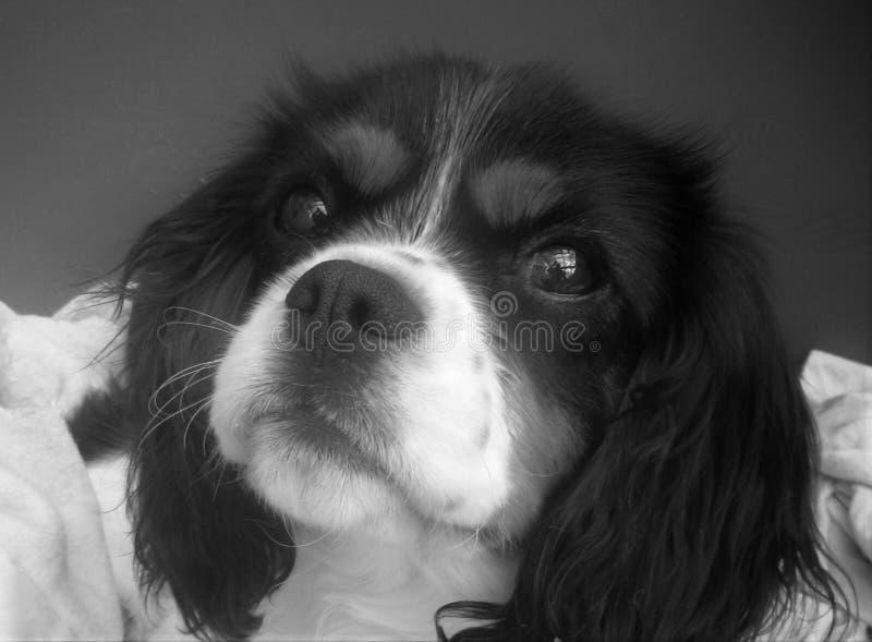 Un tri Roi cavalier coloré Charles Dog photographie stock libre de droits