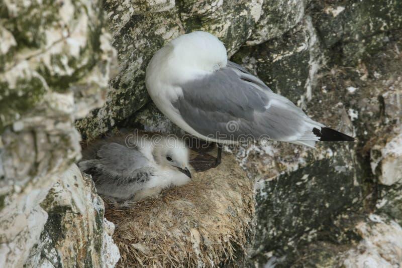 Un tridactyla adulto del Rissa de la gaviota y su jerarquización linda del polluelo al borde de un acantilado en el Reino Unido imagen de archivo libre de regalías