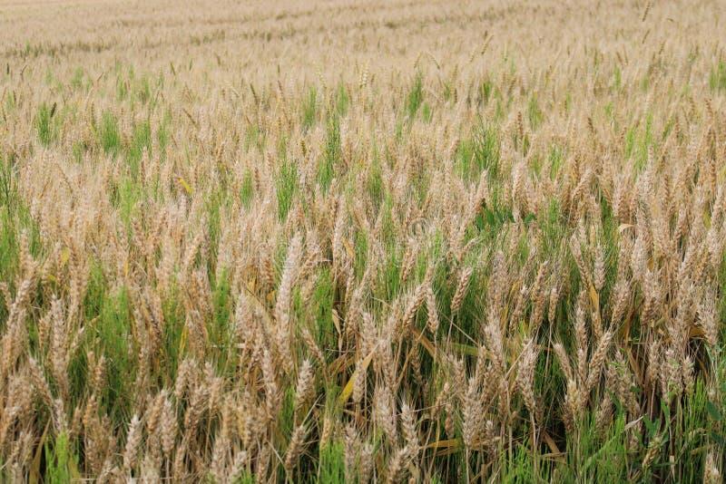 Un trigo-campo hermoso imagenes de archivo