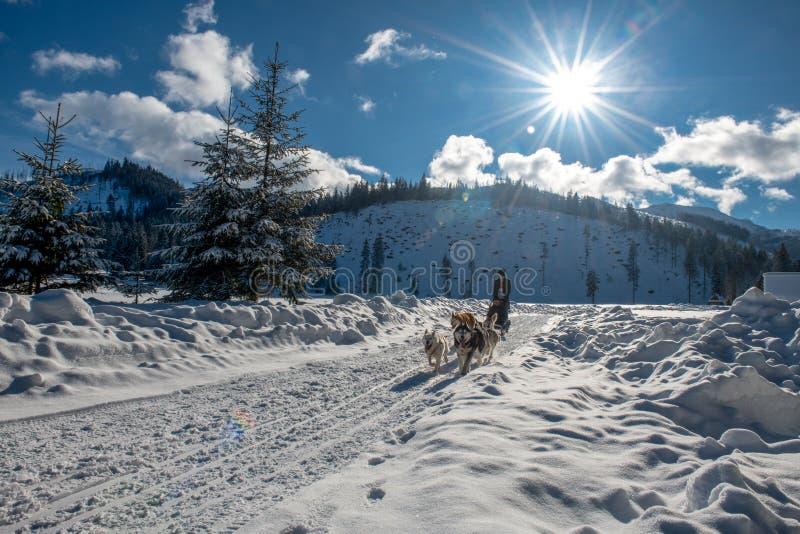 Un trineo del perro tira de un trineo en un camino nevoso Un sol maravillosamente brillante en el cielo azul imagen de archivo libre de regalías