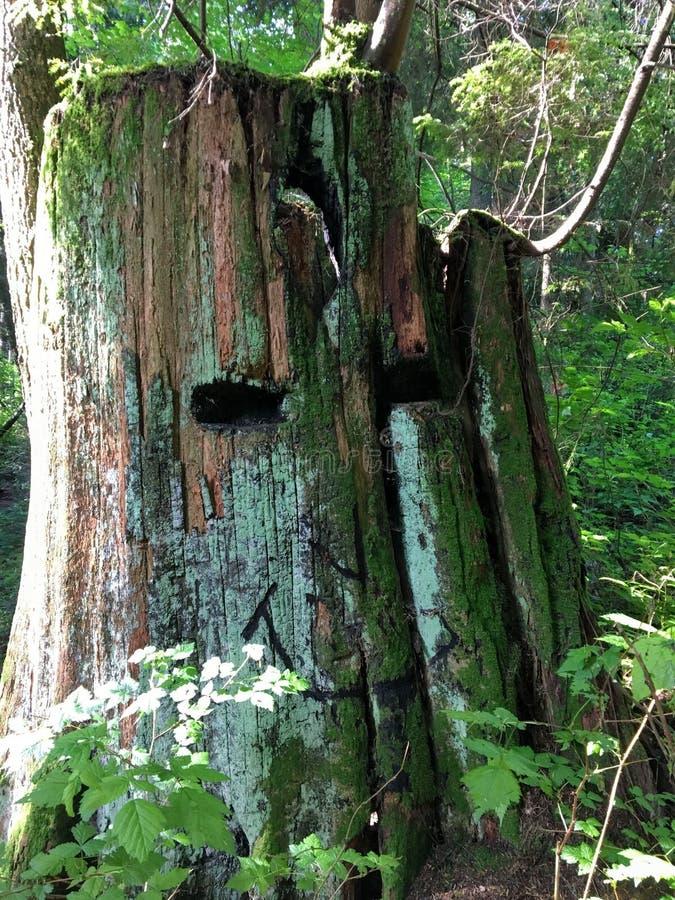 Un tronçon moussu énorme d'un arbre de cèdre rouge avec un visage de sourire unique découpé dans le tronc C'est dans les forêts d images stock
