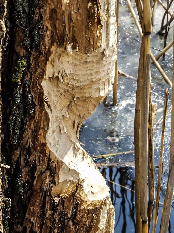 Un tronc d'arbre, s'élevant près d'une eau, est coupé par les dents avant de ` de castors pour construire ou pour la nourriture images stock
