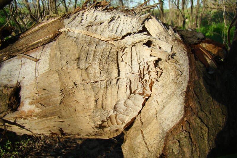 Un tronc d'arbre tombé, mordu par des castors images libres de droits