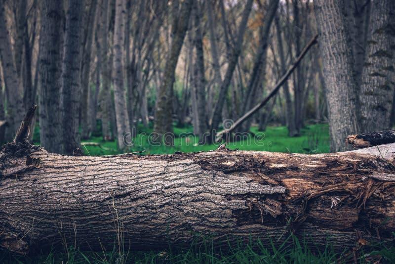 Un tronco agrietado en el medio del bosque fotografía de archivo libre de regalías