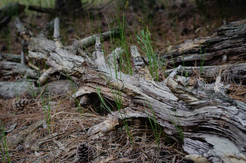 Un tronco de árbol putrefacto miente en el medio del bosque en la tierra Líneas de ramas y de fibras de madera imágenes de archivo libres de regalías