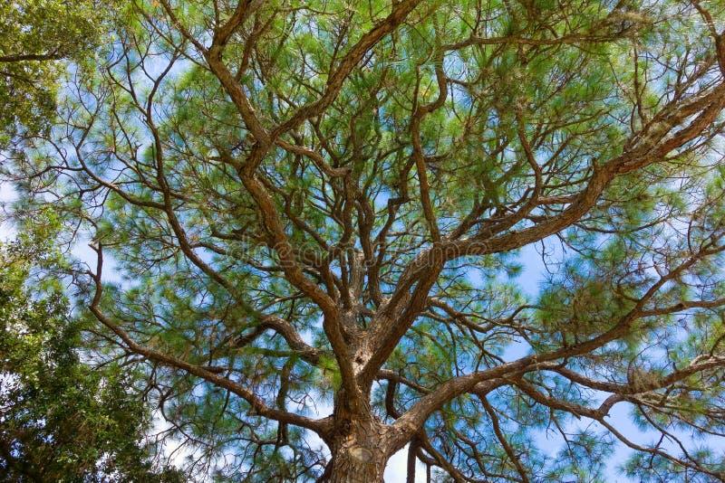 Un tronco nudoso contra un cielo azul fotos de archivo libres de regalías