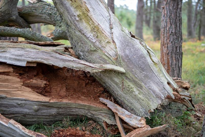 Un tronco seco viejo de un árbol caido Un roble marchitado que miente en el u fotografía de archivo libre de regalías