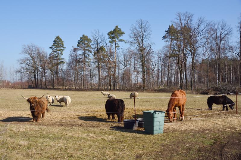 Un troupeau avec la vache, le cheval et les moutons photos libres de droits