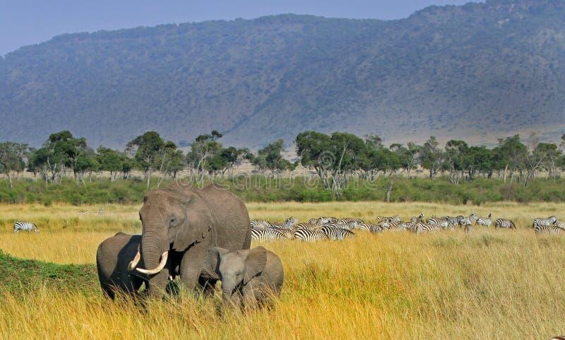 Un troupeau d'éléphants et de zèbres contre un contexte de la savane photographie stock libre de droits