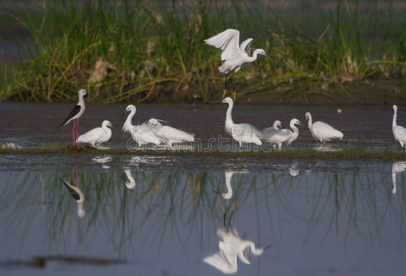 Un troupeau d'aigrettes petites et intermédiaires pêchant dans un étang photos libres de droits