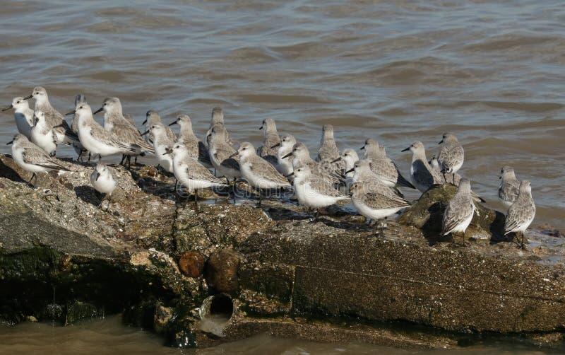 Un troupeau d'alpina de Calidris de Dunlin d'albaand de Calidris de Sanderling était perché sur une structure en béton à la marée photographie stock libre de droits