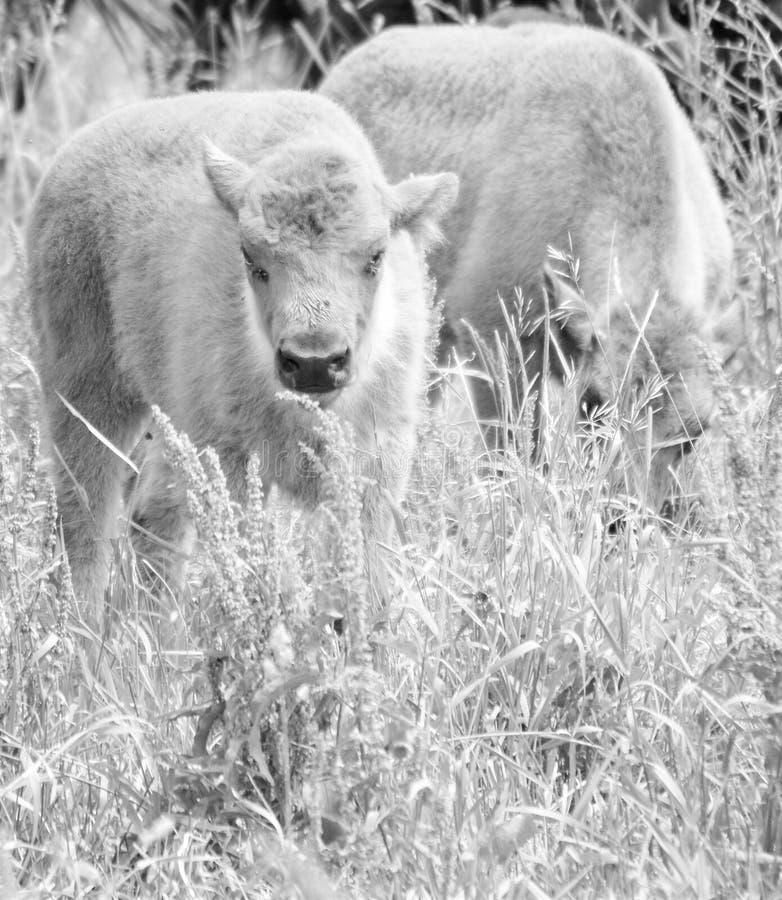 Un troupeau de bison sauvage frôlant dans le domaine photo stock