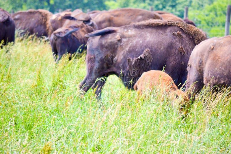 Un troupeau de bison sauvage frôlant dans le domaine photographie stock libre de droits