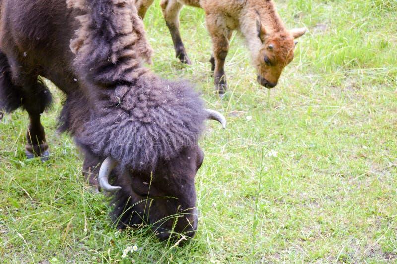 Un troupeau de bison sauvage frôlant dans le domaine image stock