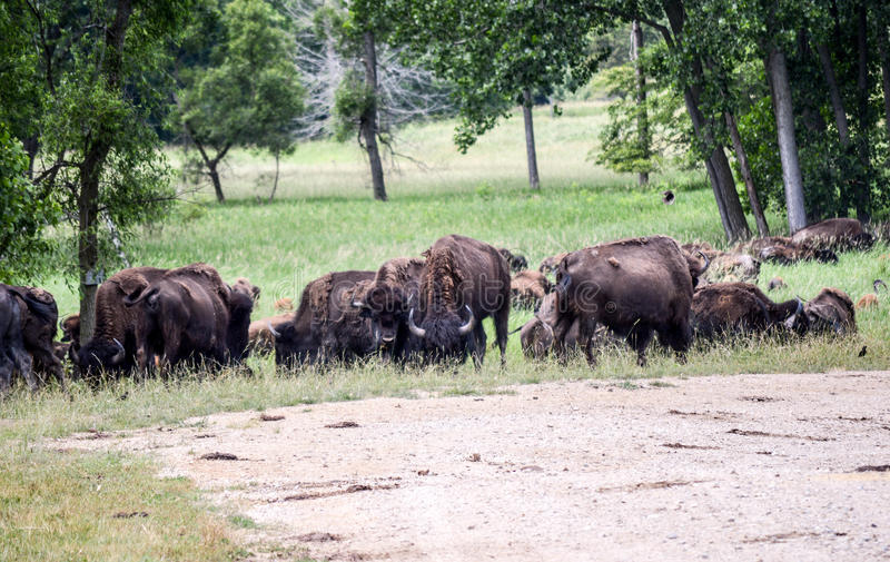 Un troupeau de bison sauvage frôlant dans le domaine photos libres de droits
