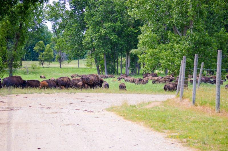 Un troupeau de bison sauvage frôlant dans le domaine photographie stock