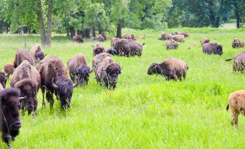 Un troupeau de bison sauvage frôlant dans le domaine image libre de droits