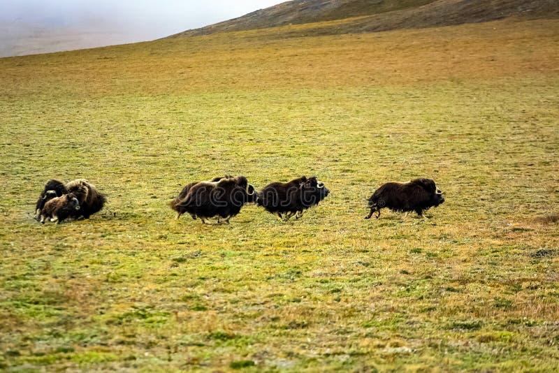 Un troupeau de boeufs de musc dans la toundra photo stock