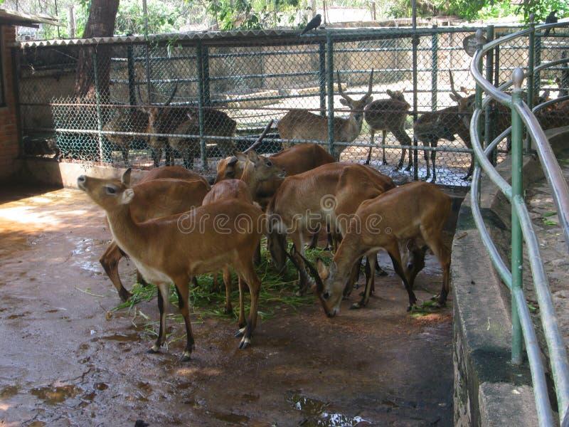 Un troupeau de cerfs communs photos stock