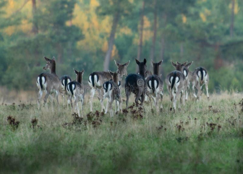 Un troupeau de cerfs communs affrichés croisant un champ en octobre photographie stock libre de droits