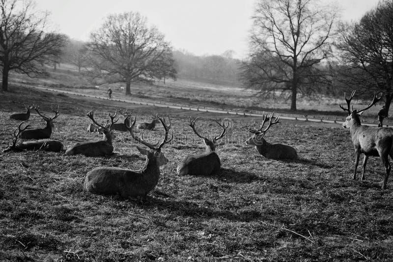 Un troupeau de cerfs communs se reposant dans un domaine image stock