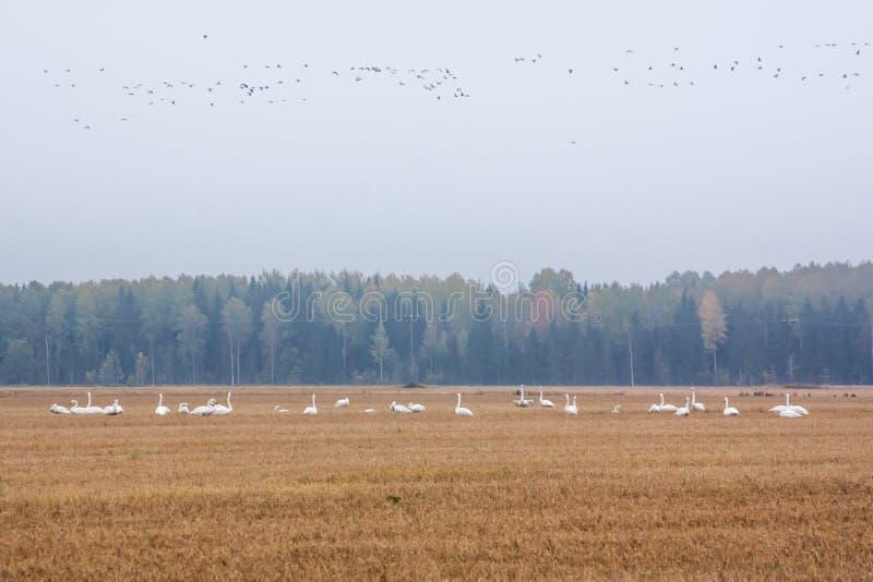 Un troupeau de cygnus de Cygnus - cygne de Whooper sur un champ au fond de forêt et troupeau des gooses de bernache - leucopsis d photos stock