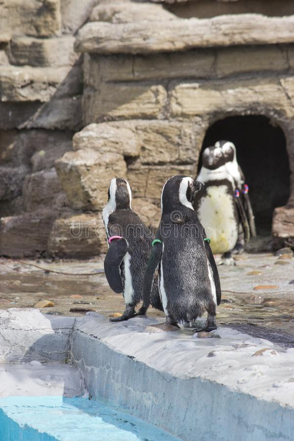 Un troupeau de demersus africain de Spheniscus de pingouins photographie stock libre de droits