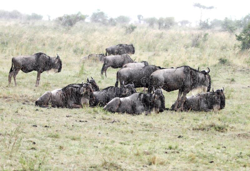 Un troupeau de gnou appréciant la pluie photo libre de droits