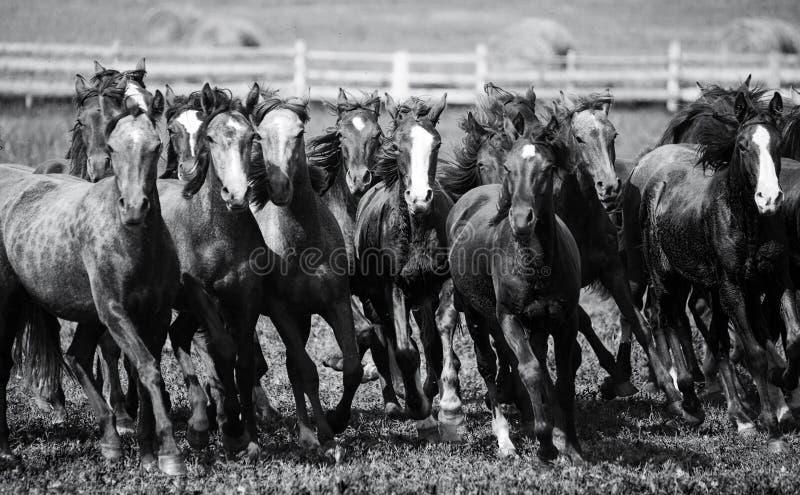 Un troupeau de jeunes chevaux image stock